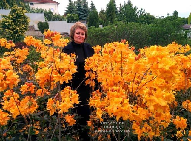 Цветёт Азалия крупноцветковая ФОТО Питомник растений Природа