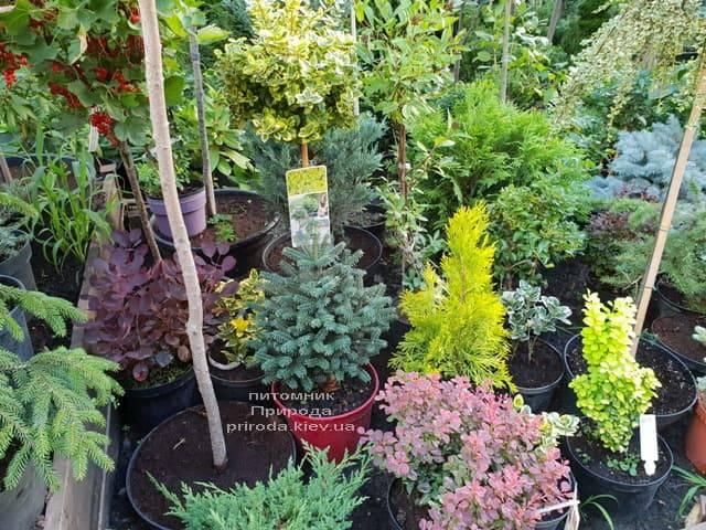 Хвойные и вечнозелёные растения ФОТО Питомник растений Природа (6)