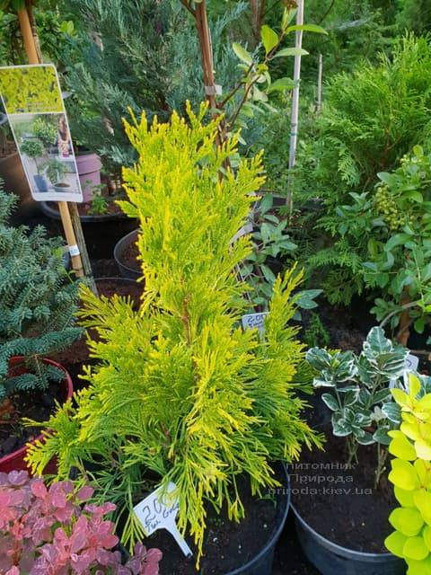 Хвойные и вечнозелёные растения ФОТО Питомник растений Природа (7)