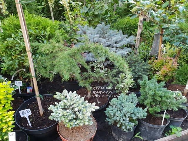 Хвойные и вечнозелёные растения ФОТО Питомник растений Природа (8)
