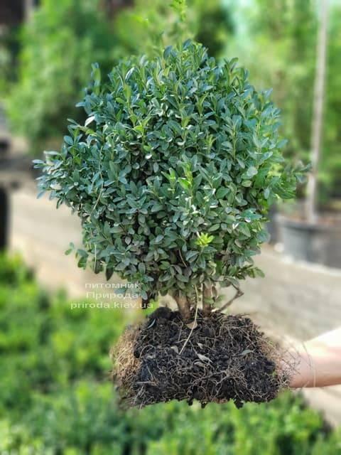 Самшит вечнозелёный (Buxus sempervirens) ФОТО Питомник растений Природа (3)