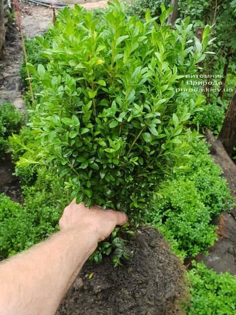 Самшит вечнозелёный (Buxus sempervirens) ФОТО Питомник растений Природа (7)