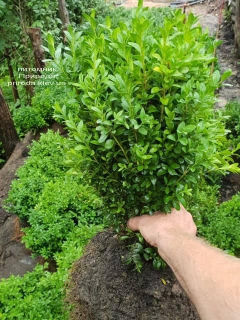 Самшит вечнозелёный (Buxus sempervirens) ФОТО Питомник растений Природа (8)