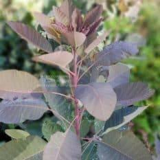 Скумпия кожевенная Грейс (Cotinus coggygria Grace) ФОТО Питомник растений Природа (3)