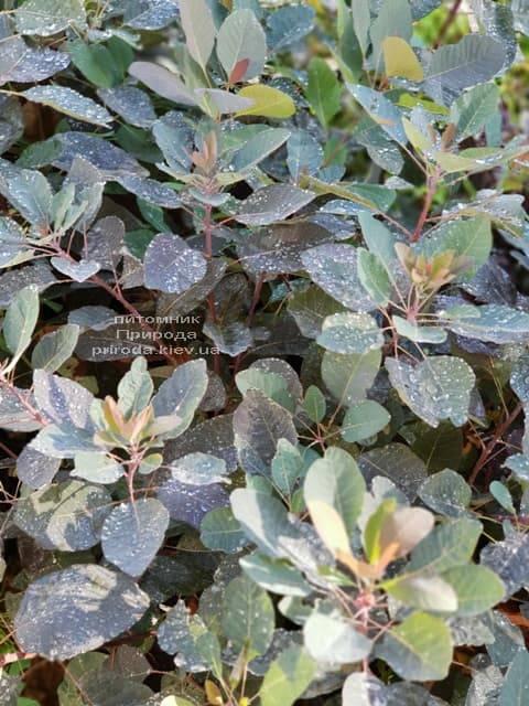 Скумпия кожевенная Грейс (Cotinus coggygria Grace) ФОТО Питомник растений Природа (5)