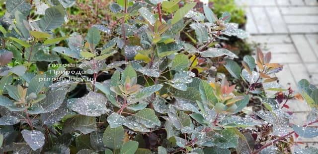 Скумпия кожевенная Грейс (Cotinus coggygria Grace) ФОТО Питомник растений Природа (6)