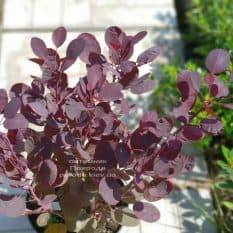 Скумпия кожевенная Лилла (Cotinus coggygria Lilla) ФОТО Питомник растений Природа (3)