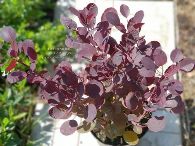 Скумпия кожевенная Лилла (Cotinus coggygria Lilla) ФОТО Питомник растений Природа (5)