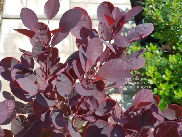 Скумпия кожевенная Лилла (Cotinus coggygria Lilla) ФОТО Питомник растений Природа (6)