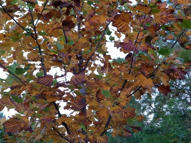 Тюльпановое дерево Лириодендрон (Liriodendron tulipifera) ФОТО Питомник растений Природа (2)