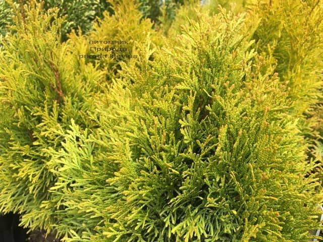 Туя западная Джанед Голд (Голден Смарагд) (Thuja occidentalis Janed Gold (Golden Smaragd) ФОТО Питомник растений Природа (6)