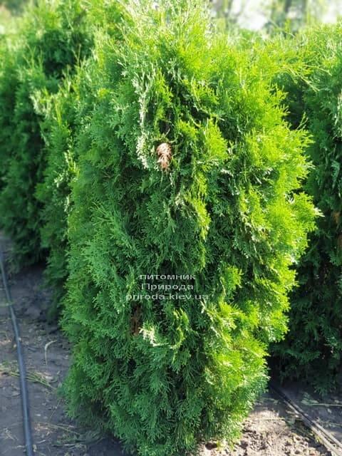 Туя западная колоновидная Колумна (Thuja occidentalis Columna) ФОТО Питомник растений Природа (15)