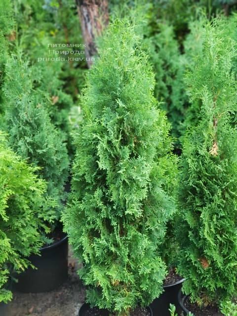 Туя западная колоновидная Колумна (Thuja occidentalis Columna) ФОТО Питомник растений Природа (16)