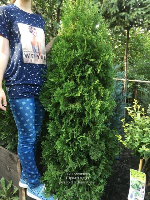 Туя западная колоновидная Колумна (Thuja occidentalis Columna) ФОТО Питомник растений Природа (18)