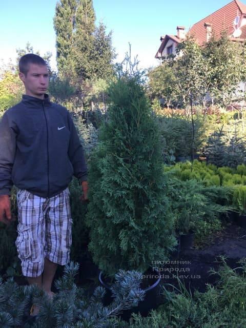 Туя западная колоновидная Колумна (Thuja occidentalis Columna) ФОТО Питомник растений Природа (19)