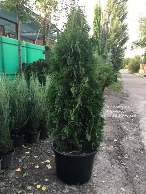 Туя западная колоновидная Колумна (Thuja occidentalis Columna) ФОТО Питомник растений Природа (21)