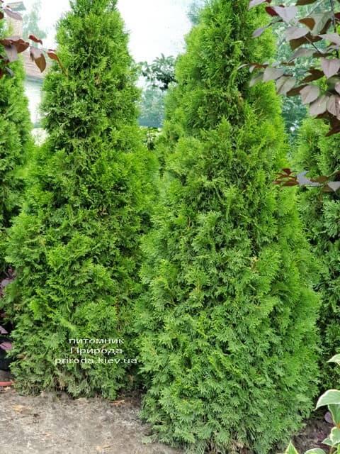 Туя западная Смарагд (Thuja occidentalis Smaragd) ФОТО Питомник растений Природа (56)