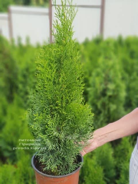Туя западная Смарагд (Thuja occidentalis Smaragd) ФОТО Питомник растений Природа (57)