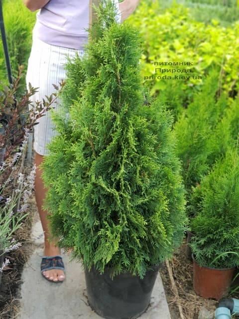 Туя западная Смарагд (Thuja occidentalis Smaragd) ФОТО Питомник растений Природа (58)