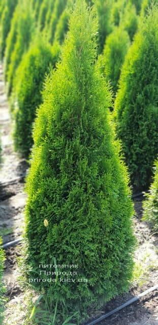 Туя западная Смарагд (Thuja occidentalis Smaragd) ФОТО Питомник растений Природа (60)