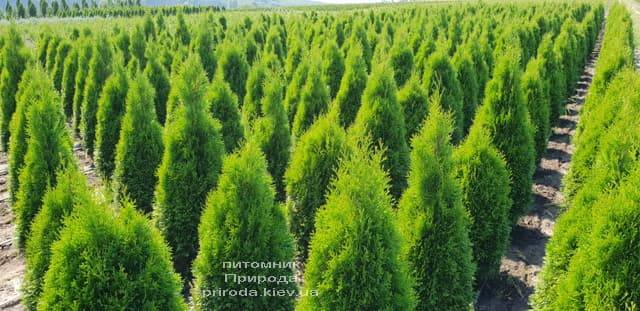 Туя западная Смарагд (Thuja occidentalis Smaragd) ФОТО Питомник растений Природа (61)