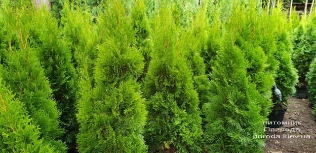 Туя западная Смарагд (Thuja occidentalis Smaragd) ФОТО Питомник растений Природа (62)