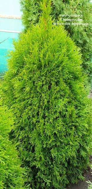 Туя западная Смарагд (Thuja occidentalis Smaragd) ФОТО Питомник растений Природа (63)