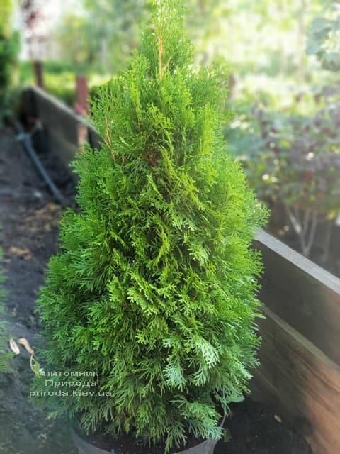 Туя западная Смарагд (Thuja occidentalis Smaragd) ФОТО Питомник растений Природа (65)