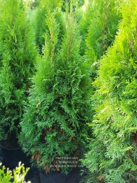 Туя западная Смарагд (Thuja occidentalis Smaragd) ФОТО Питомник растений Природа (67)