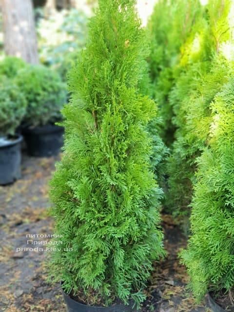 Туя западная Смарагд (Thuja occidentalis Smaragd) ФОТО Питомник растений Природа (69)