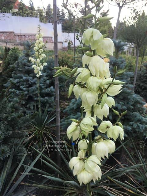 Юкка нитчатая (Yucca filamentosa) ФОТО Питомник растений Природа (4)
