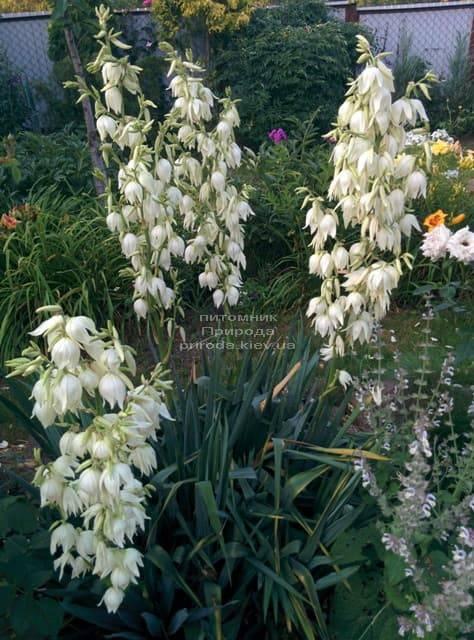 Юкка нитчатая (Yucca filamentosa) ФОТО Питомник растений Природа (7)
