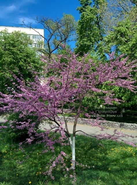 Церцис канадский (Cercis canadensis) ФОТО Питомник растений Природа (2)