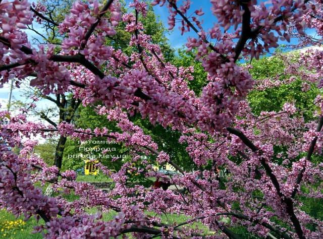Церцис канадский (Cercis canadensis) ФОТО Питомник растений Природа (3)