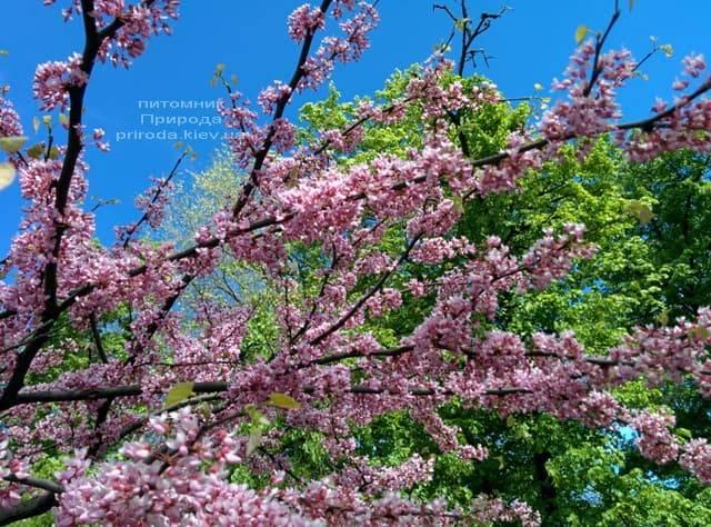 Церцис канадский (Cercis canadensis) ФОТО Питомник растений Природа (4)