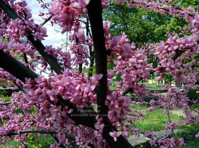 Церцис канадский (Cercis canadensis) ФОТО Питомник растений Природа (5)