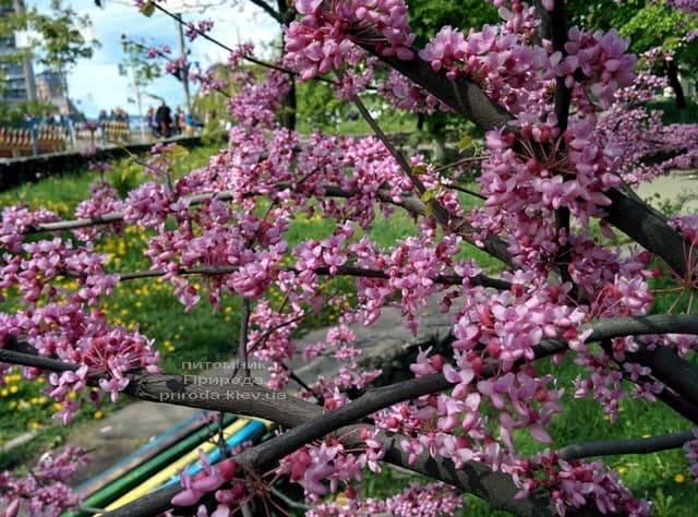 Церцис канадский (Cercis canadensis) ФОТО Питомник растений Природа (6)