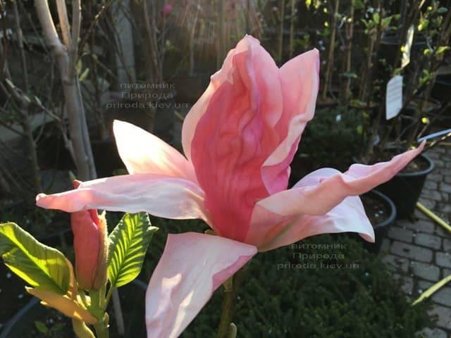 Магнолия Дэйбрэйк (Daybreak) ФОТО Питомник растений Природа (11)