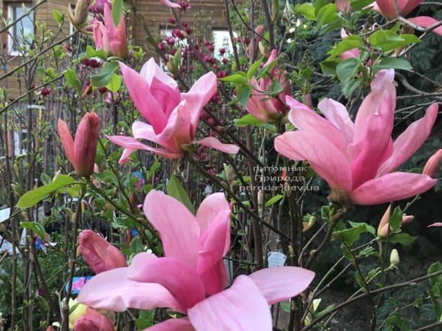 Магнолия Дэйбрэйк (Daybreak) ФОТО Питомник растений Природа (14)