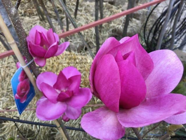 Магнолия Клеопатра (Magnolia Cleopatra Tulip) ФОТО Питомник растений Природа (20)