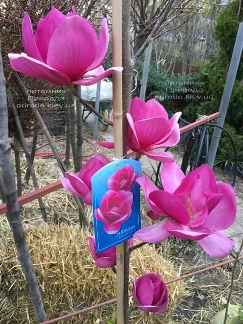 Магнолия Клеопатра (Magnolia Cleopatra Tulip) ФОТО Питомник растений Природа (28)