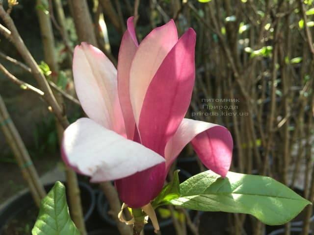 Магнолия лилиецветная Нигра (Magnolia lilliflora Nigra) ФОТО Питомник растений Природа (10)