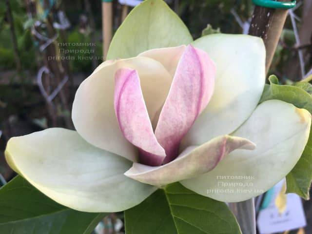 Магнолия Сенсация (Maqnolia Sunsation) ФОТО Питомник растений Природа (2)