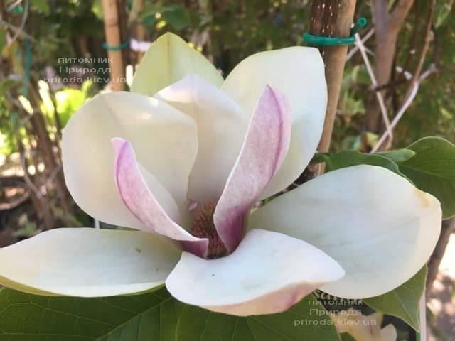 Магнолия Сенсация (Maqnolia Sunsation) ФОТО Питомник растений Природа (3)