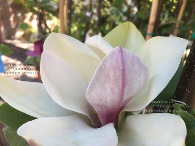Магнолия Сенсация (Maqnolia Sunsation) ФОТО Питомник растений Природа (4)