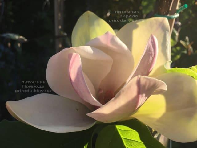 Магнолия Сенсация (Maqnolia Sunsation) ФОТО Питомник растений Природа (5)