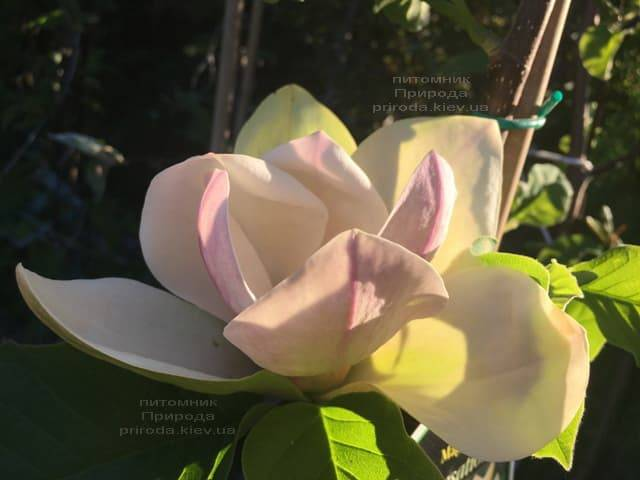 Магнолия Сенсация (Maqnolia Sunsation) ФОТО Питомник растений Природа (6)