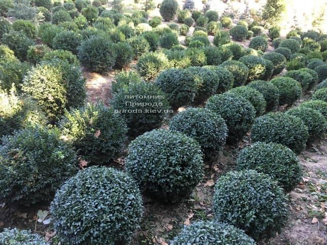 Самшит вечнозелёный Шар (Buxus sempervirens Boll) ФОТО Питомник растений Природа (1)