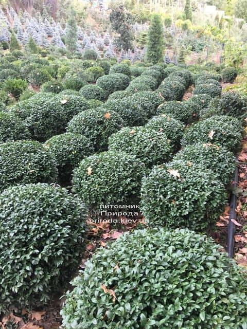 Самшит вечнозелёный Шар (Buxus sempervirens Boll) ФОТО Питомник растений Природа (4)