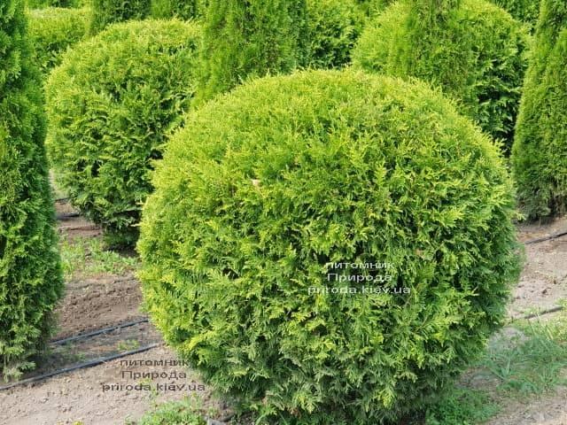 Туя западная Брабант Шар (Thuja occidentalis Brabant Boll) ФОТО Питомник растений Природа (1)